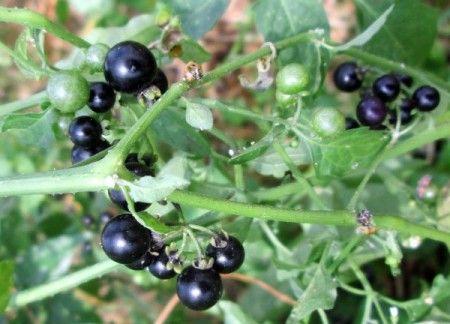 CHICHIQUELITE (Garden huckleberry) | PLG: Growing Guide | Pinterest ...