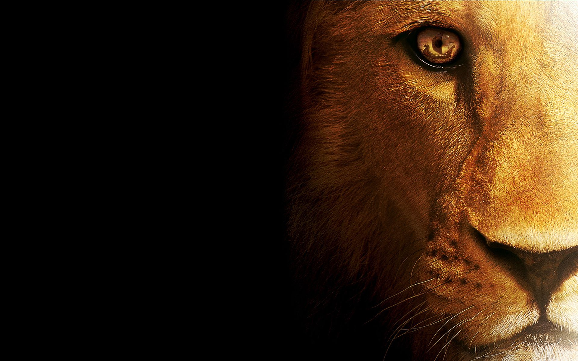 Hd wallpaper lion - Site Highdefinitionwallpapers1080p Com Download Lion Wallpaper In High Resolution For Free