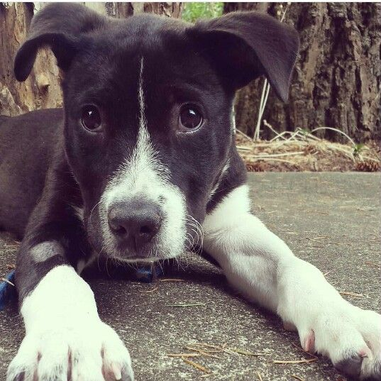 American Staffordshire terrier/lab mix- Harlow -Puppy ...