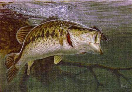 """Bama State freshwater fish:  Largemouth Bass  """"Catch and Release"""""""