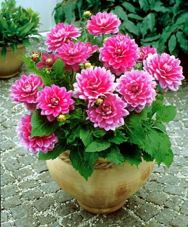 Patio Dahlia Bluesette Container Flowers Beautiful