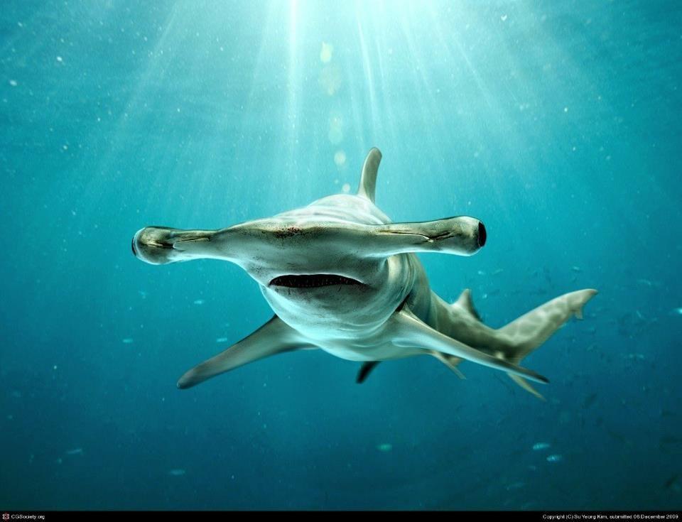Tiburón Martillo Imágenes De Tiburones Animales Bajo El Agua Arte De Tiburón