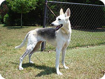 German Shepherd Greyhound Mix Shepherd Dog Mix Rare Dog Breeds Hybrid Dogs