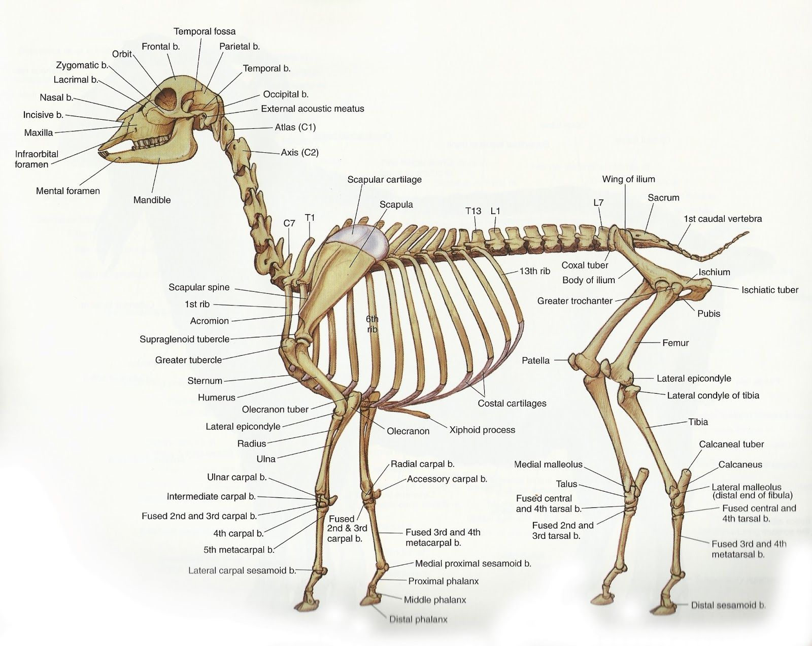 Skeleton.png (1600×1273) | anatomia animal | Pinterest | Anatomía ...