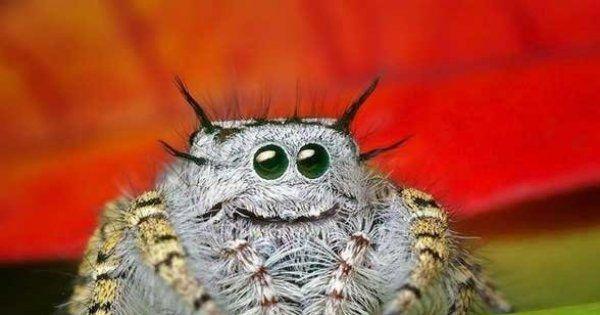 Bildergebnis Fur Susse Spinnen Bilder Springende Spinne Susseste