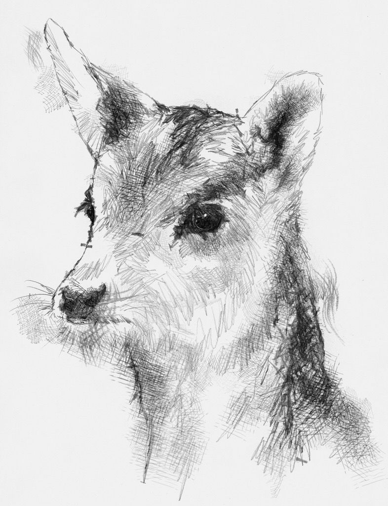 artist sean briggs producing a sketch a day fallow fawn art drawing fawn