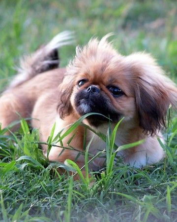 List Of The Oldest Dog Breed In The World Complete Pekingese