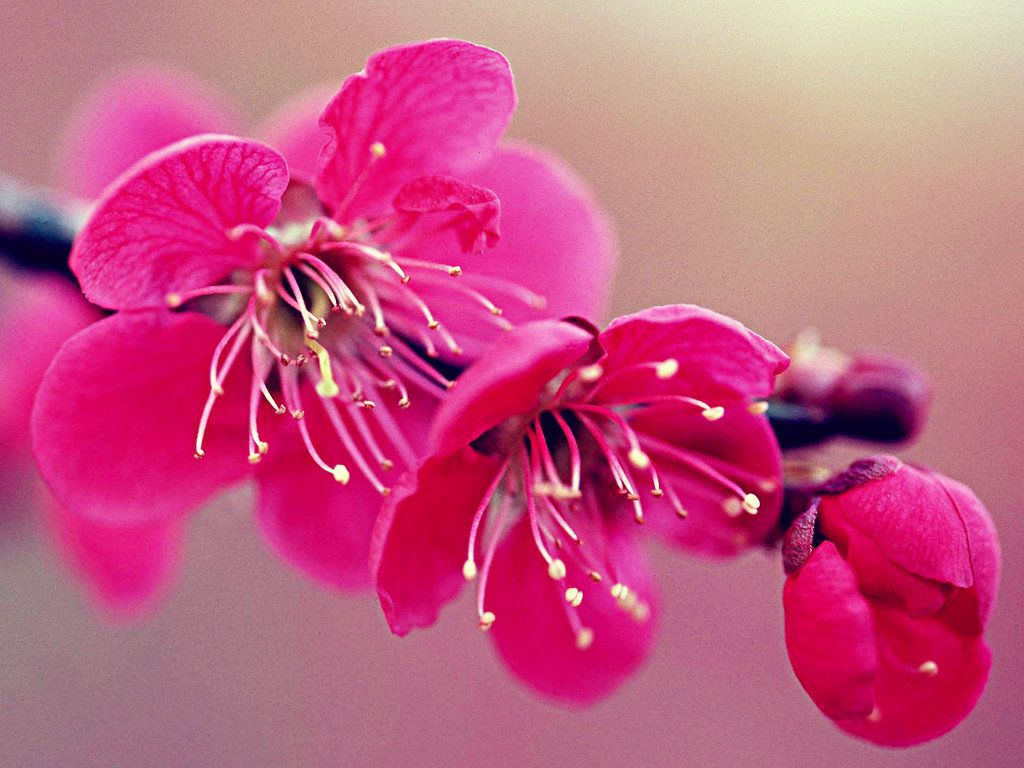 Cherry blossom flower desktop wallpapers download hd wallpaper