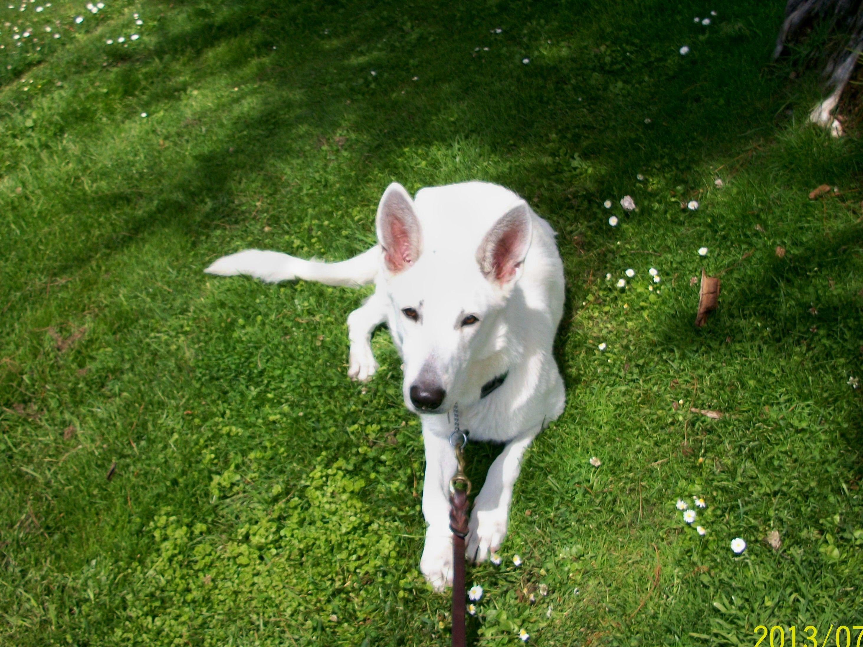 German Shepherd Rescue of Orange County Dogs for