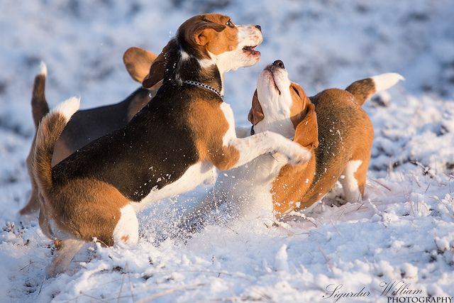 beagles in the snow!