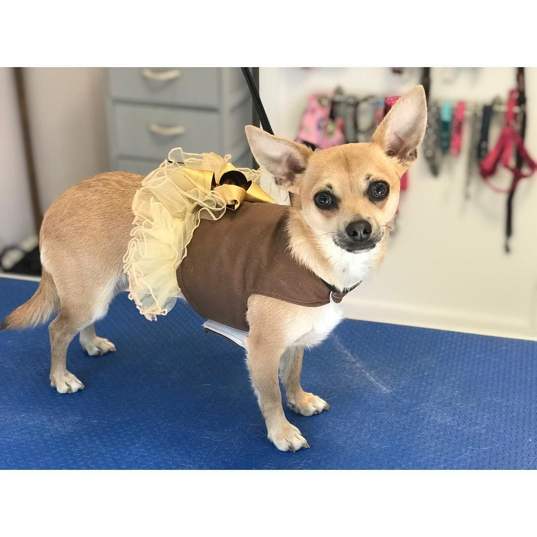 Kelly Byrne On Instagram Dutches All Ready For Chihuahua Town On Saturday In Milton Keynes Pawshdogsgrooming Dogsofinstagram Chihuahua Doggie Style Dogs