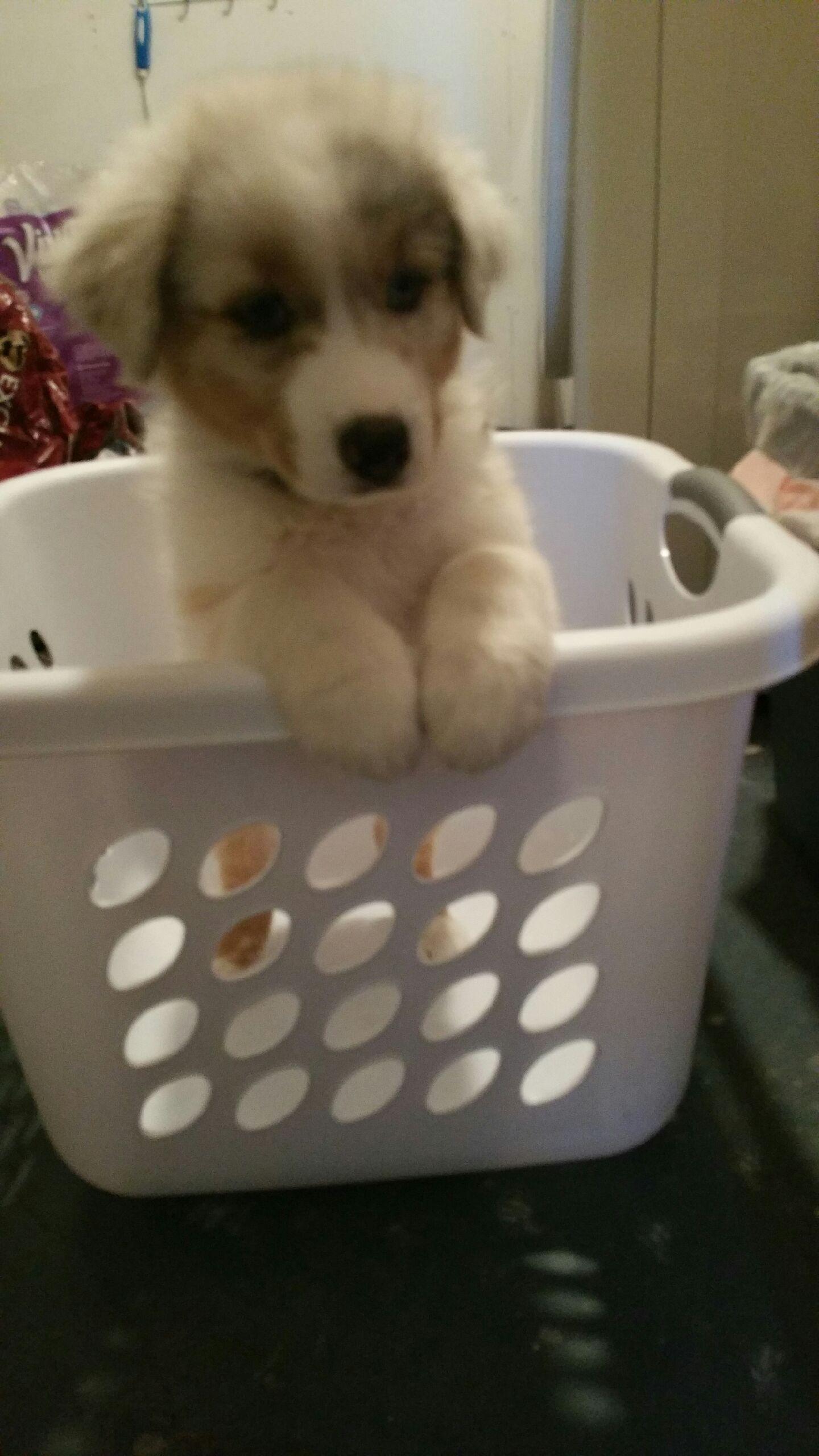 Aussie puppy in a basket aussie puppies australian
