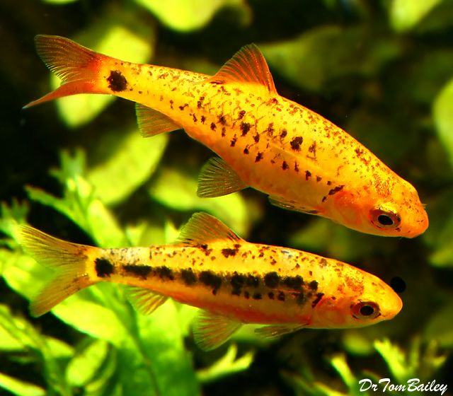 Pin By Timothy Cope On Freshwater Aquarium Fish Pinterest