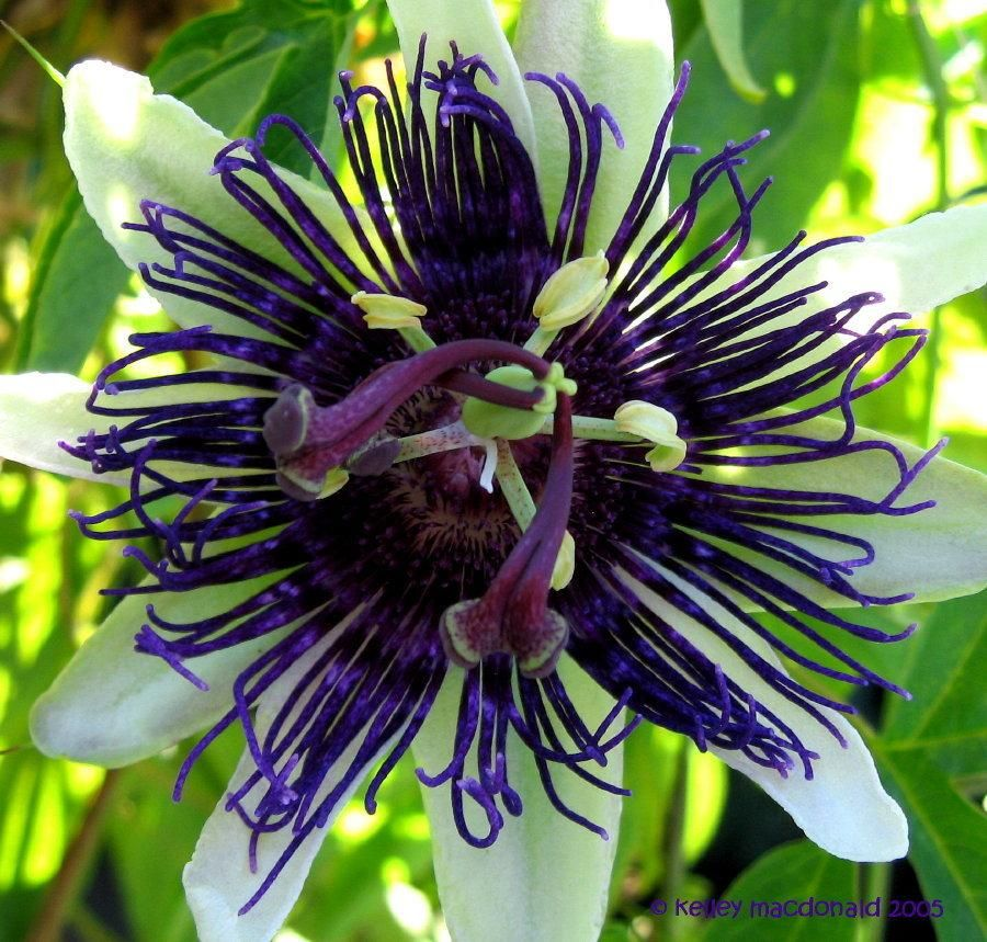 Passiflora Aka Passion Flower Passionflower Passion Vine Passionvine Indigo Dream I Passiflora Flower Garden Plants Passion Flower Flowers Perennials