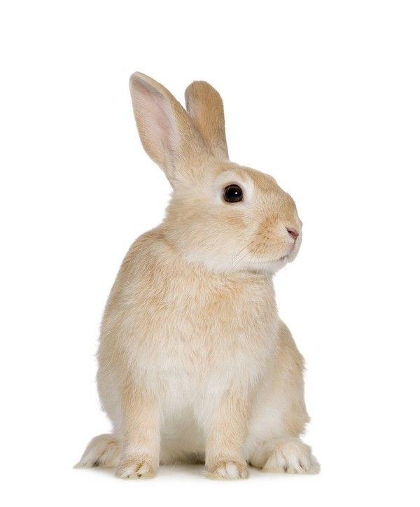 Lapin Rabbit Tubes Png Rabbit Pictures Animals Rabbit Clipart