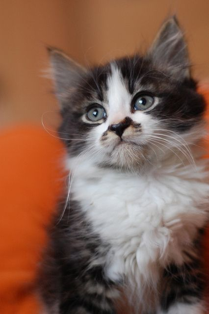 floofy tabby and white.    Isn't the smudge on his nose just  outstanding?