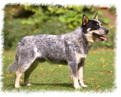 Other Names Queensland Heeler Blue Heeler Hall 39 S Heeler Aussie Cattle Dog Australian Cattle Dog Dogs