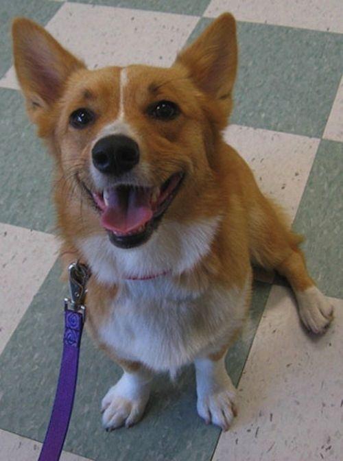 Lucy Corgi Corgi Rescue Corgi Dog