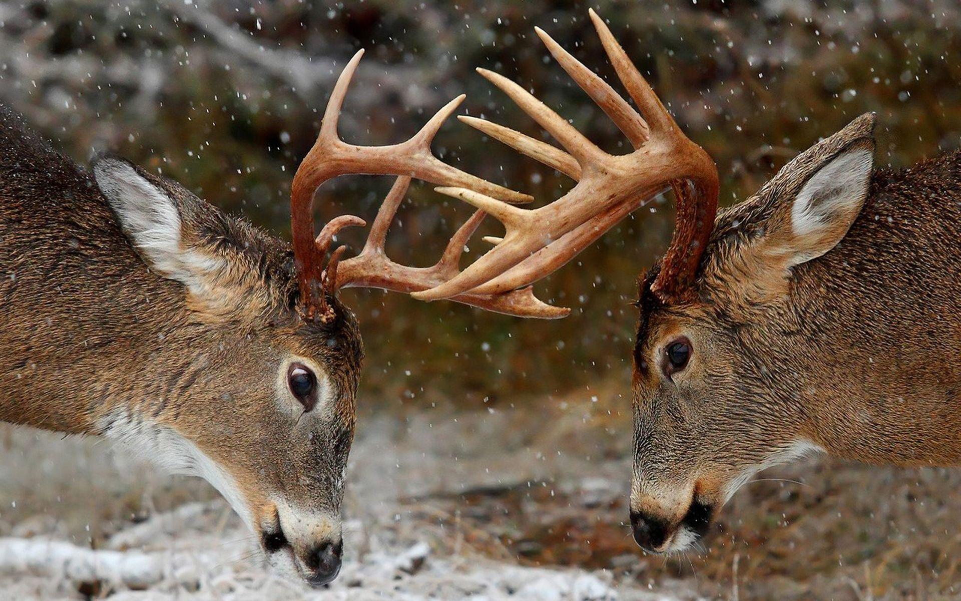 Full hd p deer wallpapers hd desktop backgrounds 19201080 deer full hd p deer wallpapers hd desktop backgrounds 19201080 deer image wallpapers 45 wallpapers adorable wallpapers desktop pinterest deer voltagebd Image collections