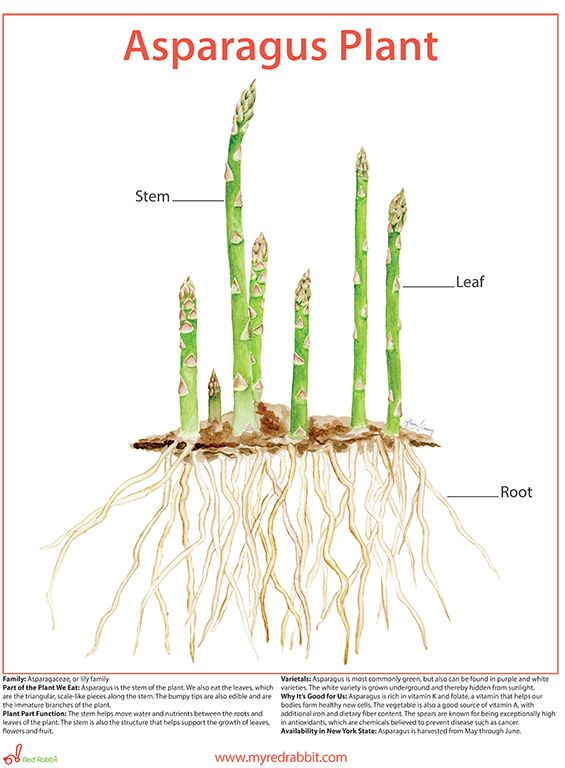 Get Kids And Adults Alike Excited About How Our Favorite Foods Grow This One Of A Kind Depiction Of A Whole Aspara Asparagus Plant Edible Gifts Food Education
