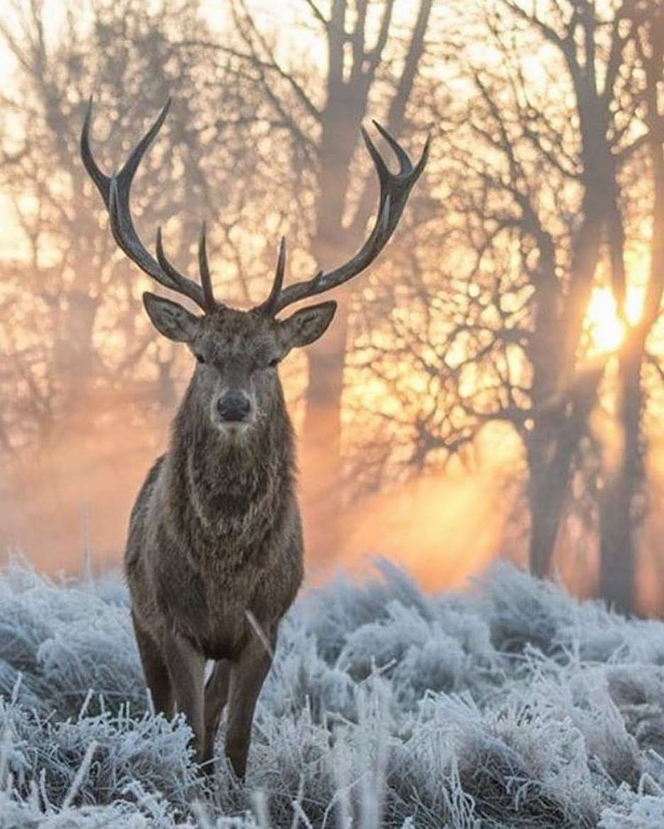 Beautiful Stag In Bushy Park In The London Borough Of Richmond