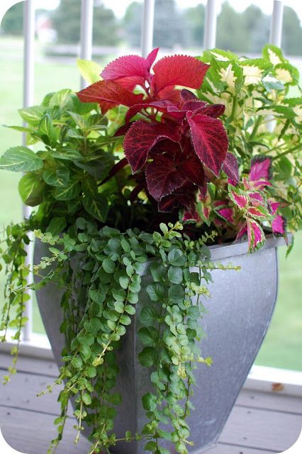 Different varieties of coleus and creeping jenny.