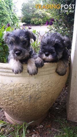 Miniature Schnauzer Pups For Sale In Warragul Vic Miniature