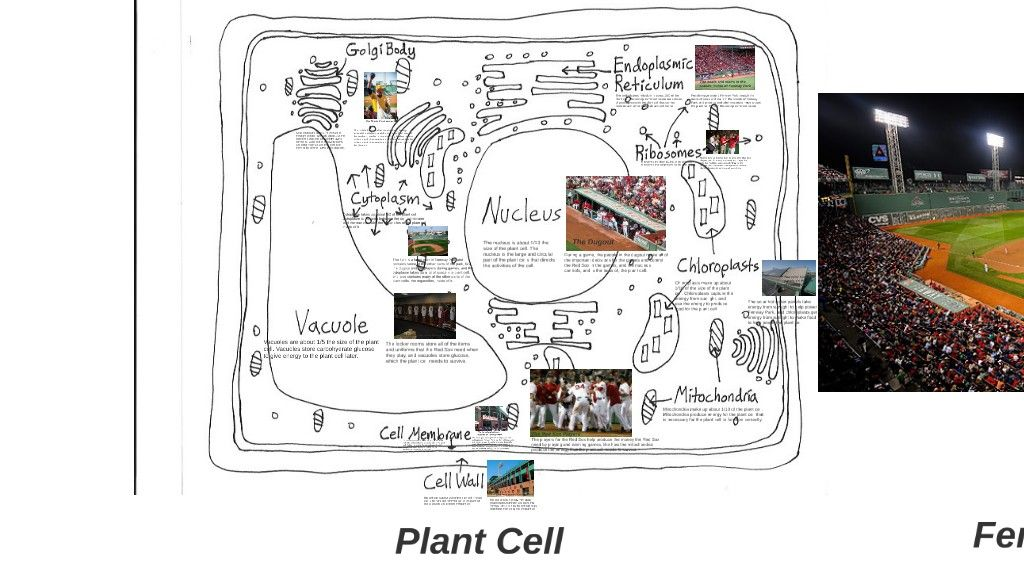 plant cells function like fenway park with images on cell wall function id=14395