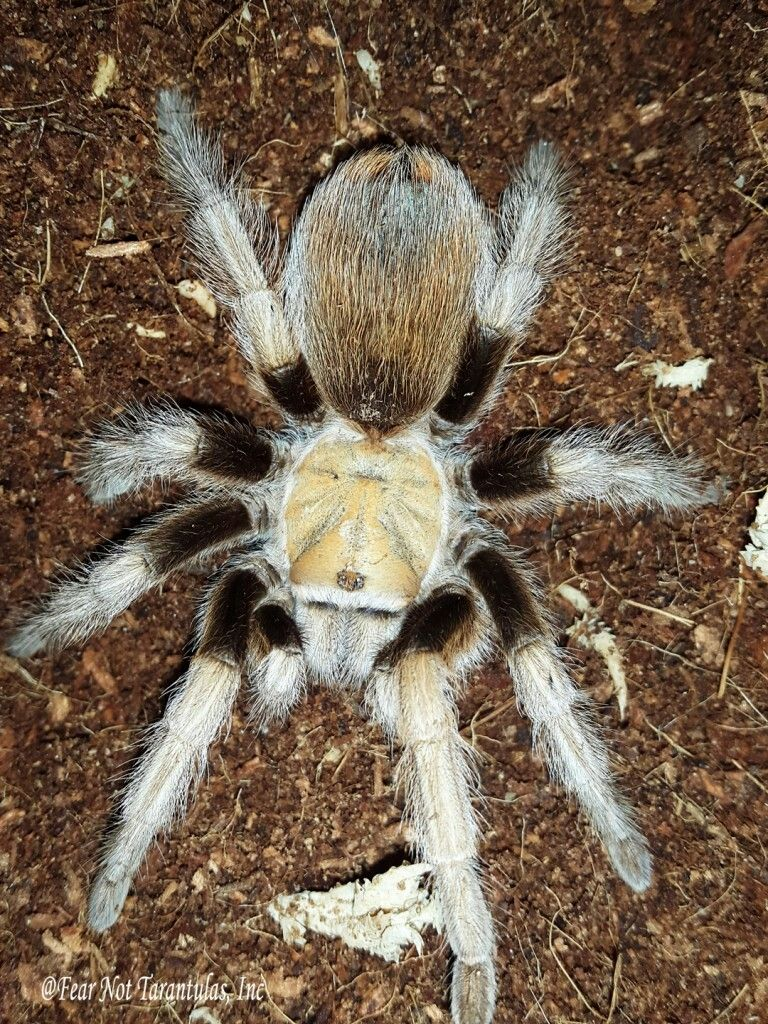 Aphonopelma chalcodes (Arizona Blonde) Spiders scary