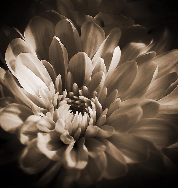 Chrysanthemum - 3