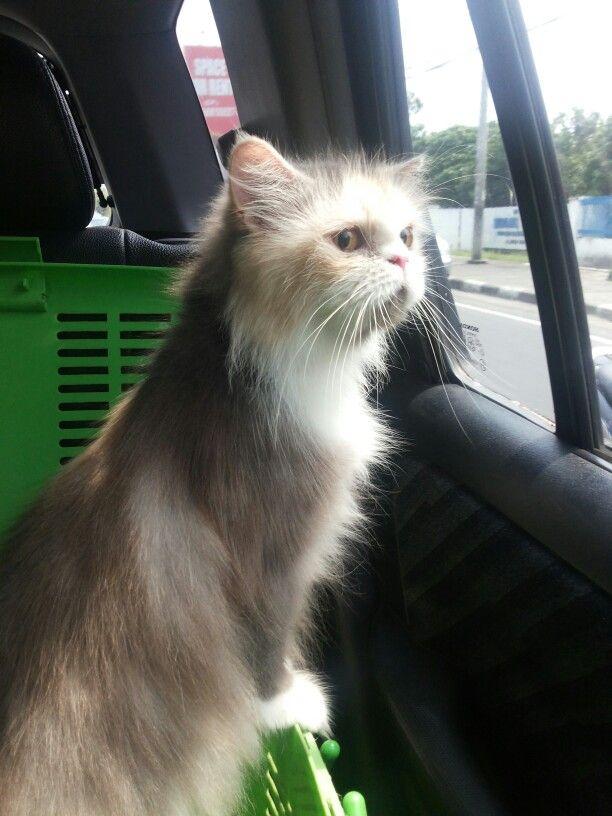 Little cat olivia - persian cat