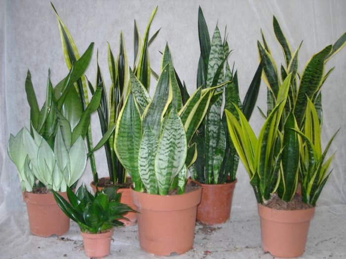 Variety of sanseviera trifasciata, easy to care and very decorative plants.