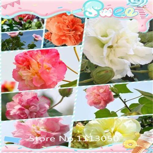 100PCS / bag Hibiscus Flower Seeds, Mix Color