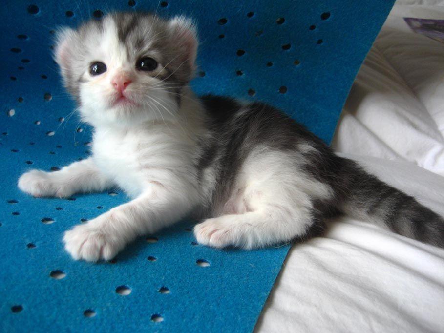American Curl Kittens For Sale Procurl Harem Kitten Sale Curl Cat Breeder American Curl American Curl Kittens Cat Breeder