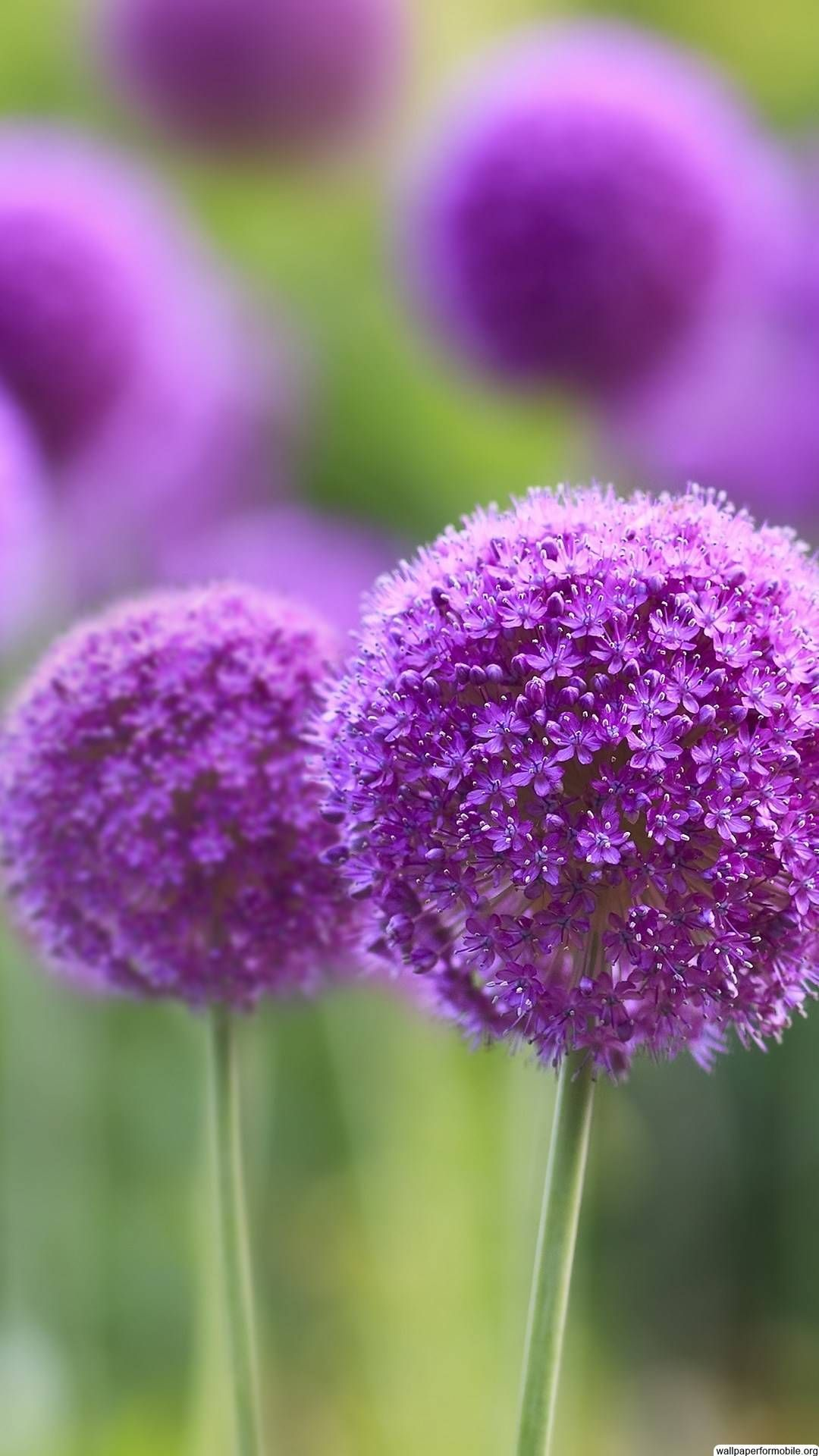 Http Wallpaperformobile Org 7379 Free Mobile Wallpapers Samsung Html Free Mobile Purple Flowers Wallpaper Flower Iphone Wallpaper Wallpaper Nature Flowers