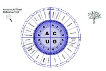 Amino Acid Chart (Wheel and Chart) | Teaching | Amino acids, Chart