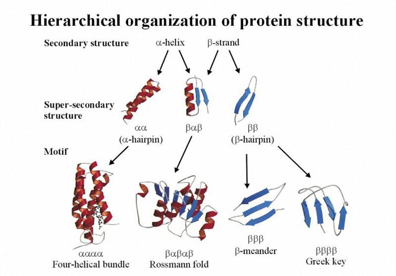 secondary, supersecondary structure of proteins | Biochemie ...