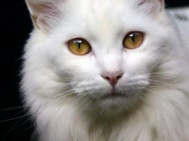 Beautiful White Cat Cats Cats White Cats Cat Facts