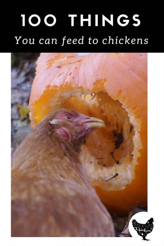 What Can Chickens Eat? 100 Things to Fill Those Beaks!