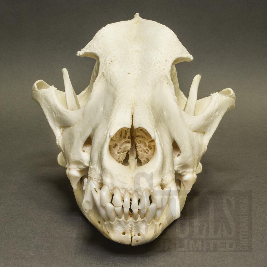 Chow Chow - Domestic Dog Skull (Canis familiaris ) | Skulls ...