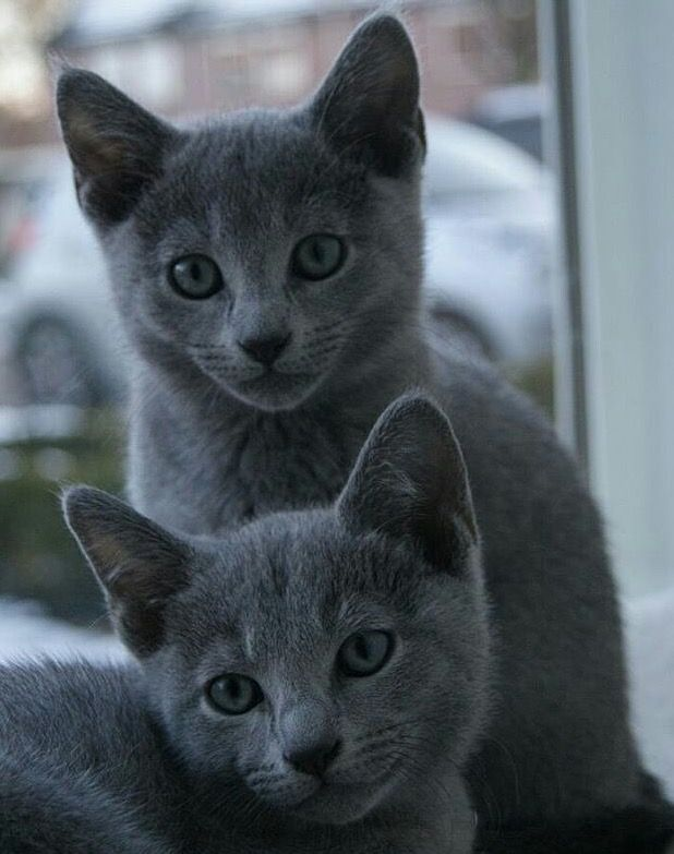 Awwwwwwwwwwwwwwwwww They Re So Freak N Cute Cute Cats And Dogs Russian Blue Russian Blue Cat