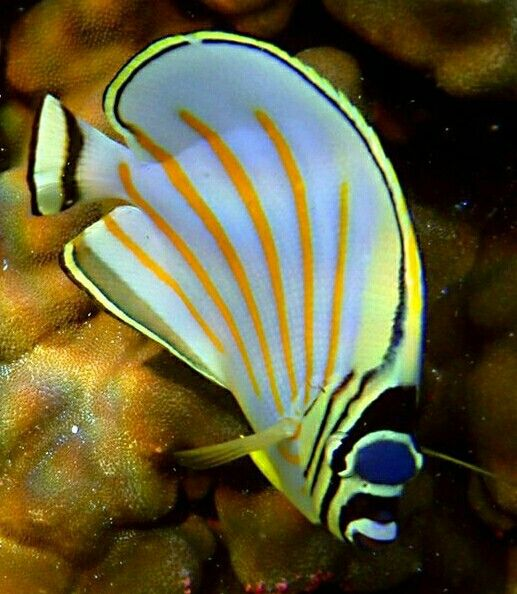 Butterflyfish A Tropical Marine Fish Approximately 129 Species Found Mostly On The Reefs Of The Atlanti Marine Fish Aquarium Fish Tropical Freshwater Fish