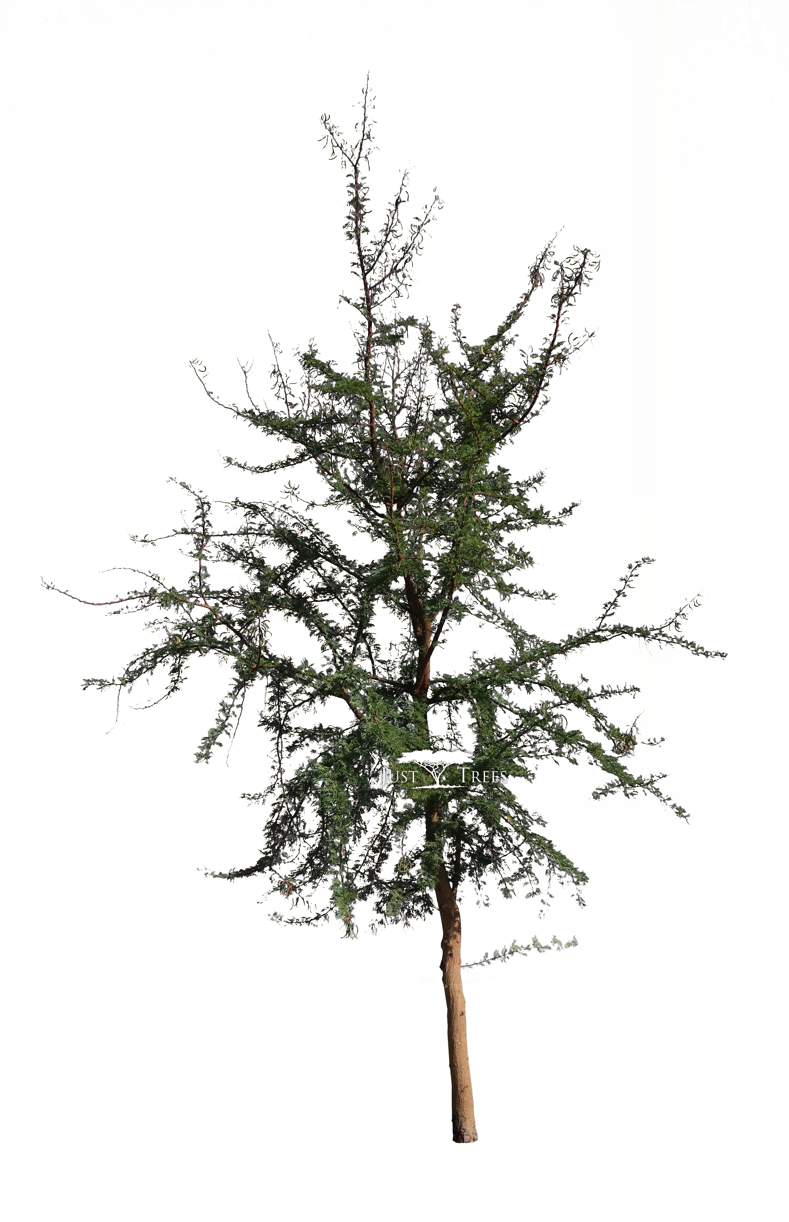 Acacia Karroo Common Name Sweet Thorn Pngs For Landscape