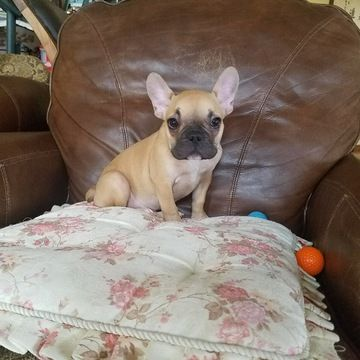 French Bulldog Puppy For Sale In Los Angeles Ca Adn 43783 On