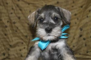 Minature Schnauzer Puppies For Sale In Shippensburg Pa Httpwww