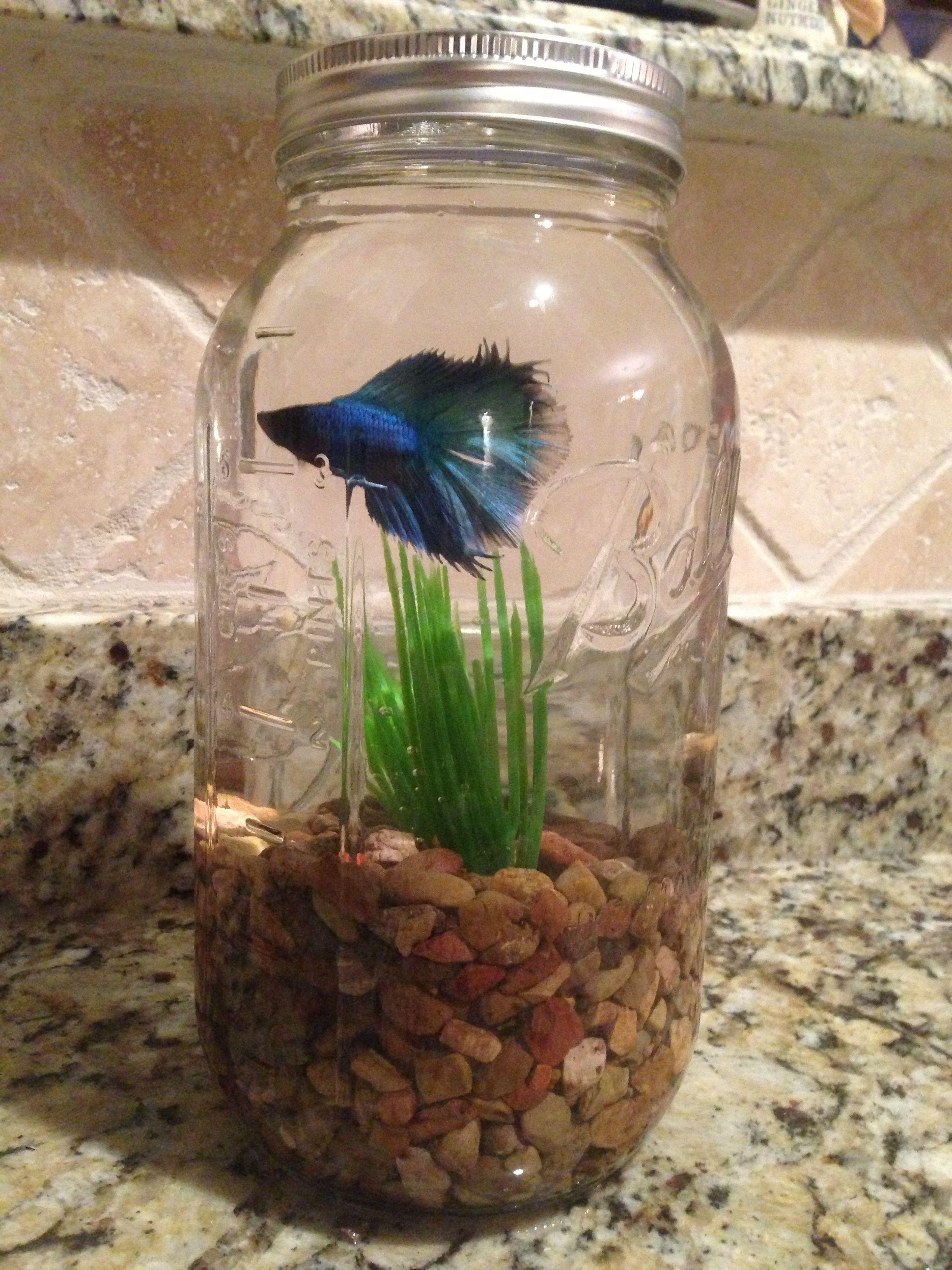 Betta fish in a mason jar I used a half gallon jar but a quart