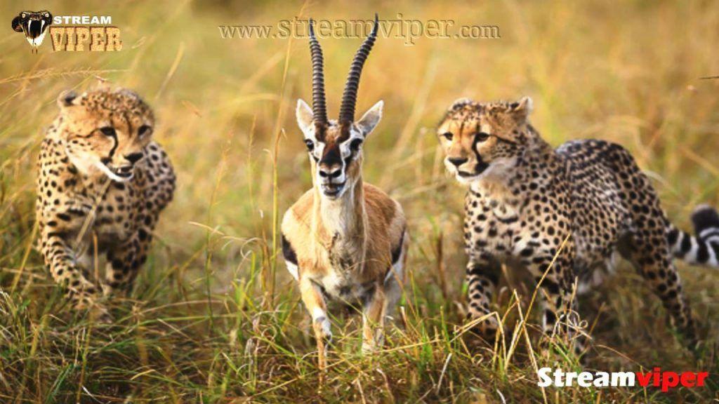 Top 5 Cheetah Vs Animals Extreme Attacks Featuring Cheetah Vs