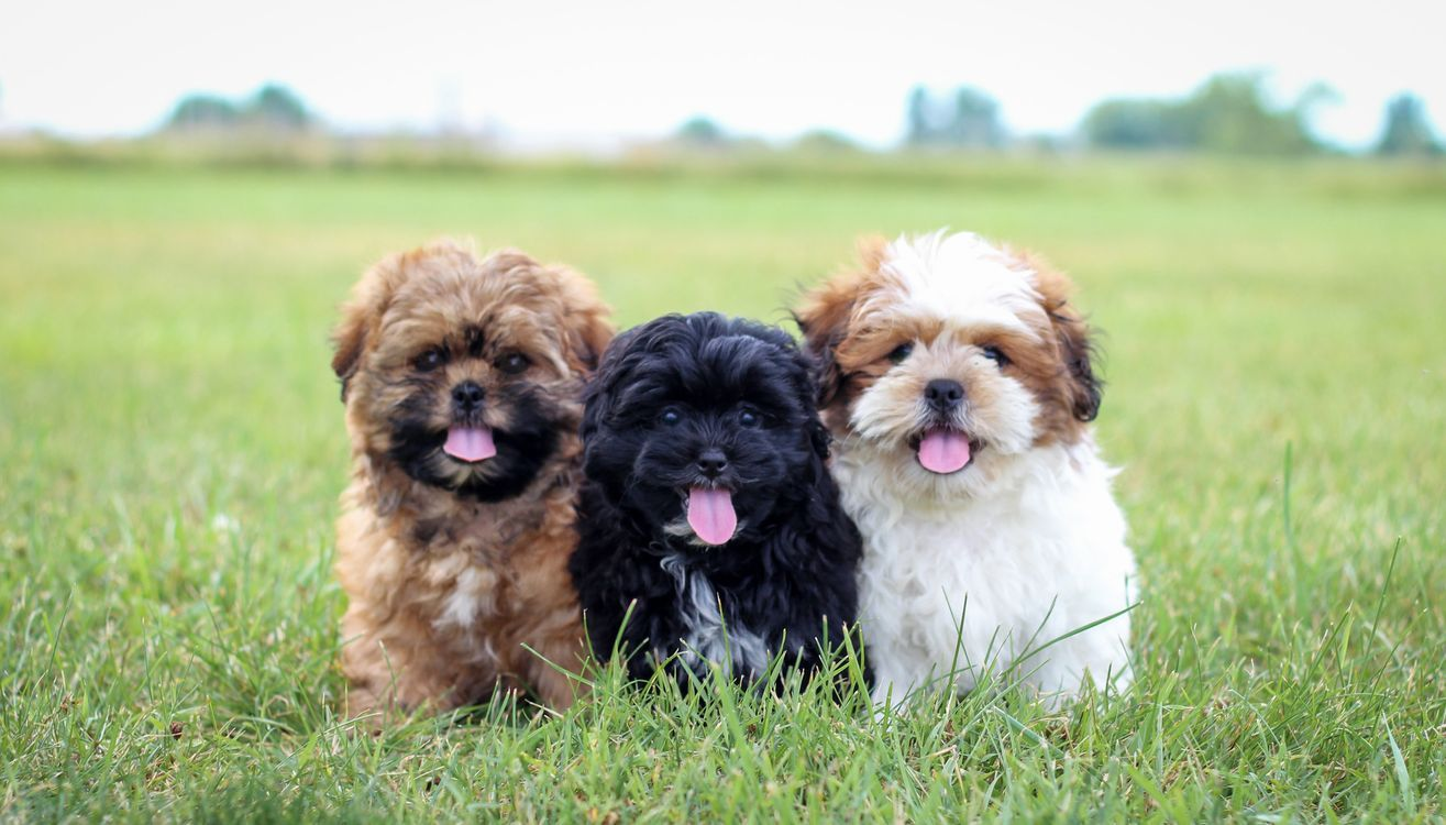 Www Stonyridgepuppies Com Puppies For Sale Teddy Bear Shichon Shihpoo Puppy Toy Puppy Puppies Iowa F1 Hybrid Teddy Bear Puppies Puppies For Sale Shih Poo