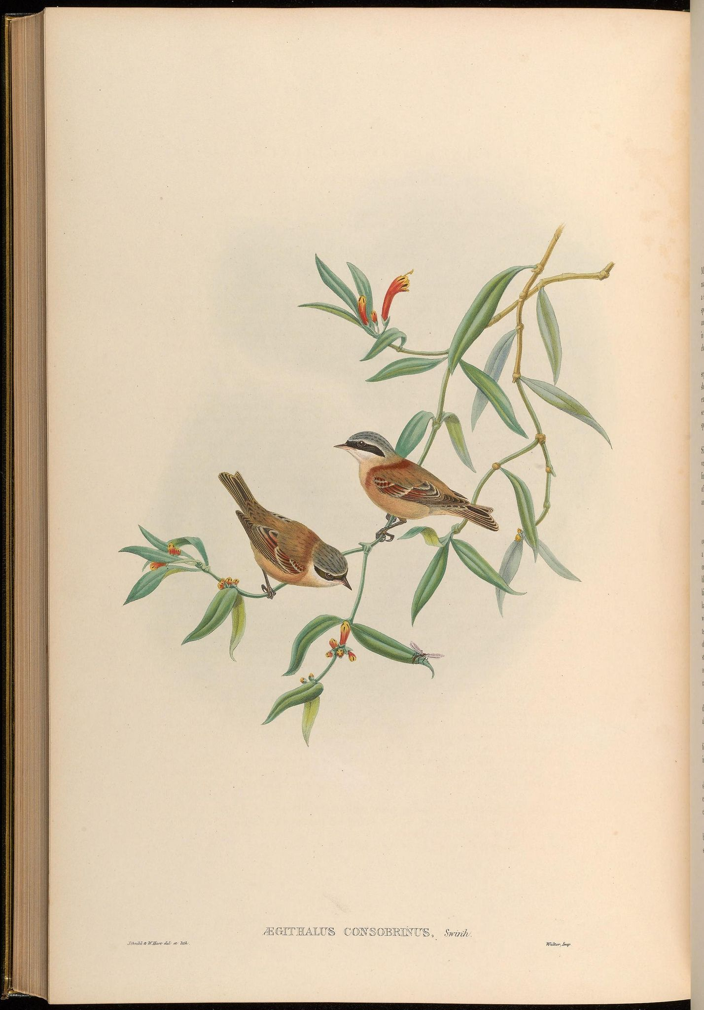 Birds of Asia / by John Gould.. London :Printed by Taylor and Francis, pub. by the author,1850-1883.. biodiversitylibrary.org/page/38534269