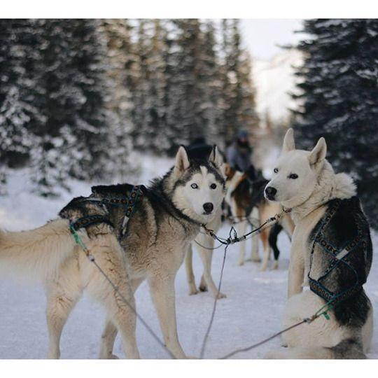 Mushing Snow Dogs Husky Malamute Husky